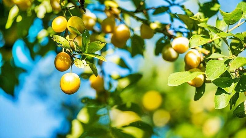 LOS MIRABELES | Son una fruta que alcanza su máxima expresión en conserva y que tiene una ya lejana conexión con los alemanes que eran residentes en Vigo